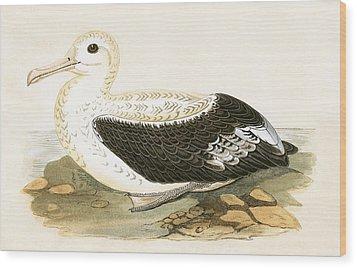 Wandering Albatross Wood Print by English School