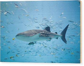 Whale Shark Swimming In Aquarium Wood Print by Stephen Marks