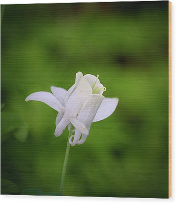 White Columbine Squared Wood Print by Teresa Mucha