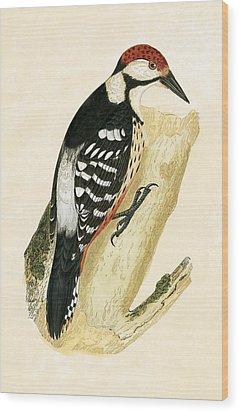 White Rumped Woodpecker Wood Print by English School