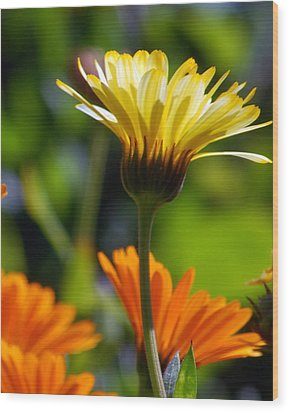 Yellow Daisy Wood Print by Amy Fose