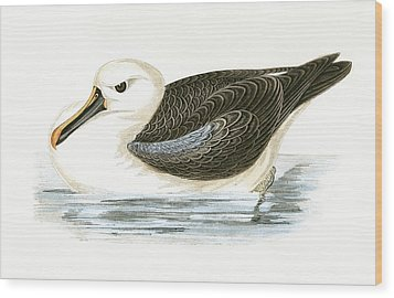Yellow Nosed Albatross Wood Print by English School