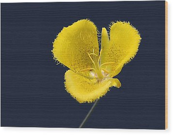 Yellow Star Tulip - Calochortus Monophyllus Wood Print by Christine Till