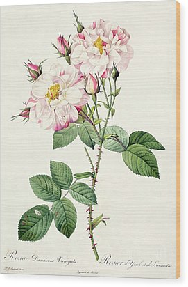 York And Lancaster Rose Wood Print by Pierre Joseph Redoute