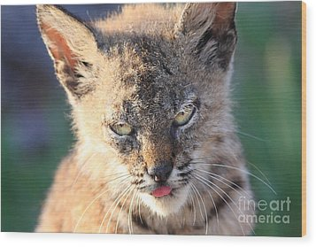 Young Bobcat 04 Wood Print by Wingsdomain Art and Photography