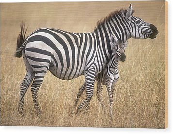 Zebra And Foal Wood Print by Johan Elzenga