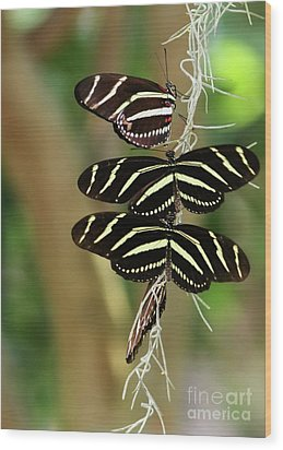 Zebra Butterflies Hanging On Wood Print by Sabrina L Ryan