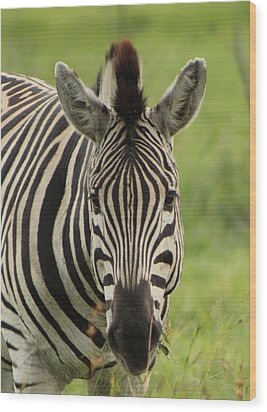 Zebra Looking At You Wood Print by Denise Dean