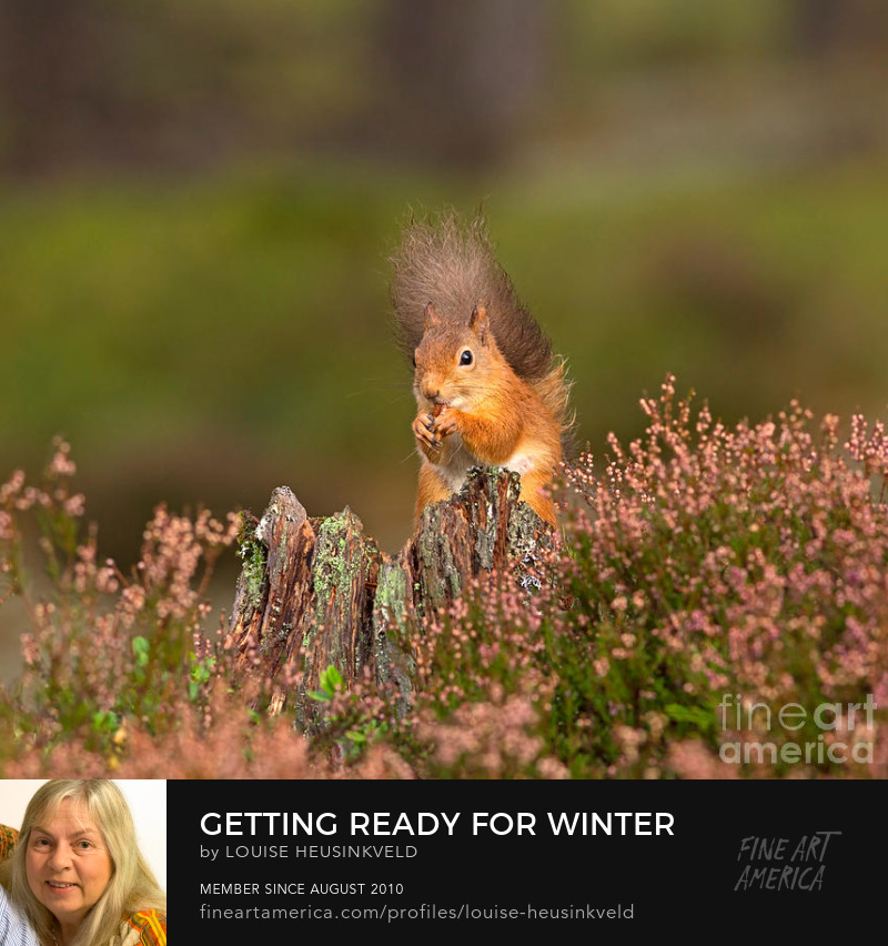 http://fineartamerica.com/featured/getting-ready-for-winter-louise-heusinkveld.html