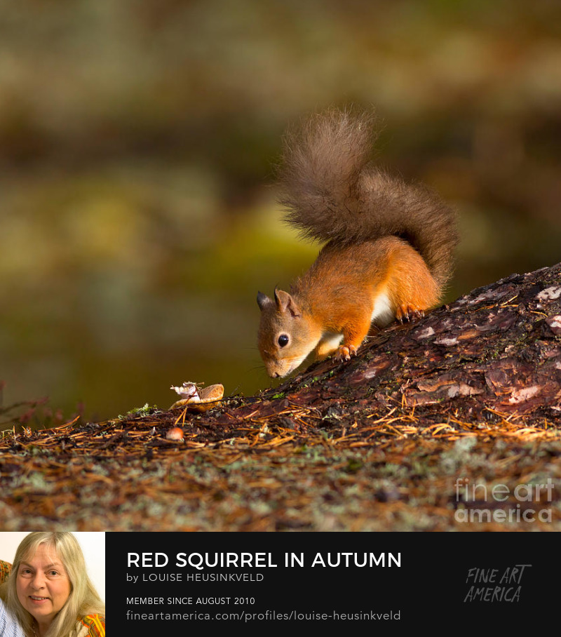 http://fineartamerica.com/featured/red-squirrel-in-autumn-louise-heusinkveld.html
