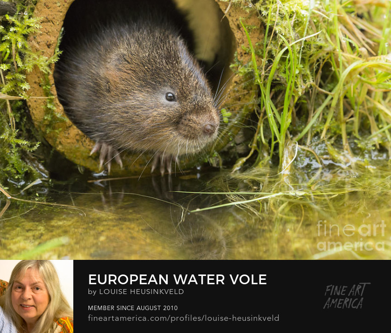 http://fineartamerica.com/featured/european-water-vole-louise-heusinkveld.html