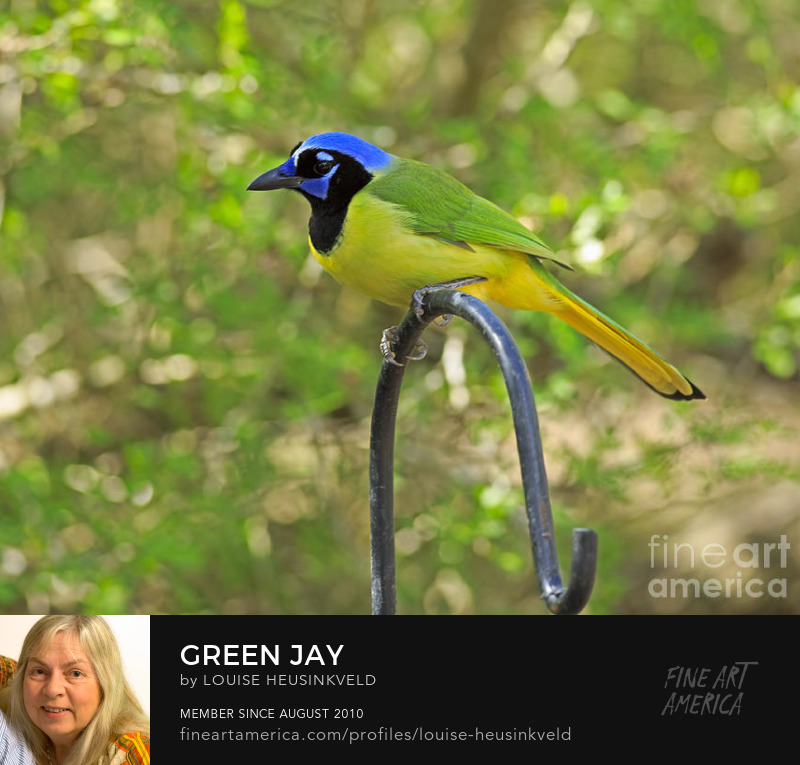 http://fineartamerica.com/featured/green-jay-louise-heusinkveld.html