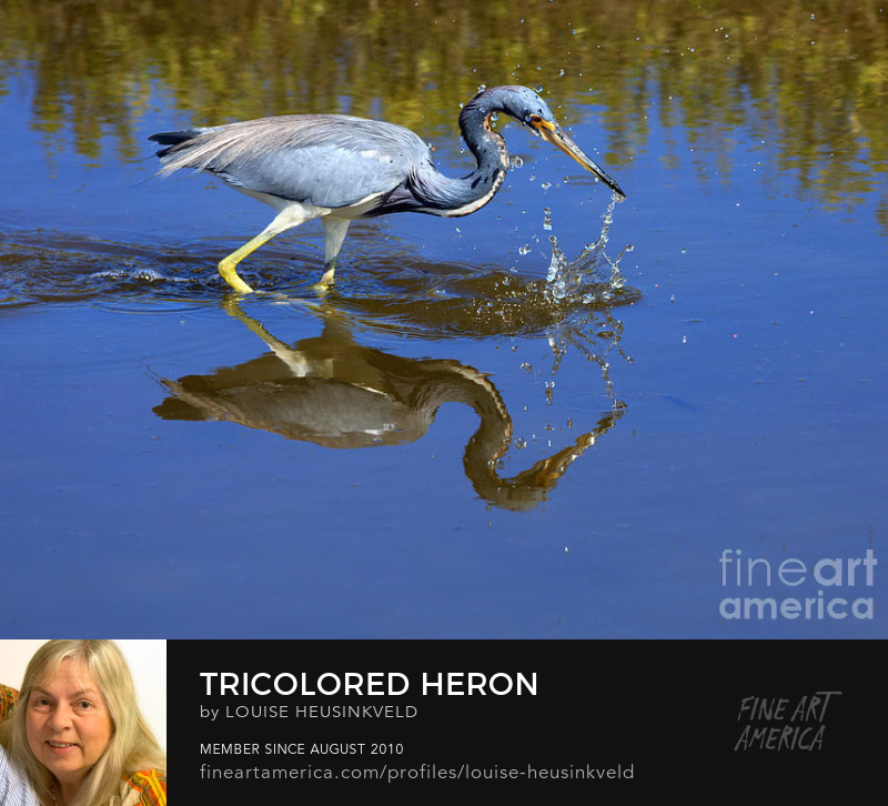 http://fineartamerica.com/featured/2-tricolored-heron-louise-heusinkveld.html