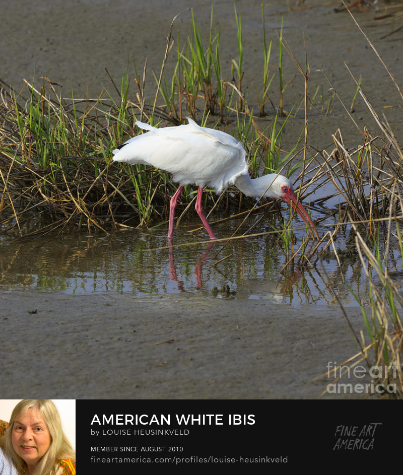 http://fineartamerica.com/featured/american-white-ibis-louise-heusinkveld.html