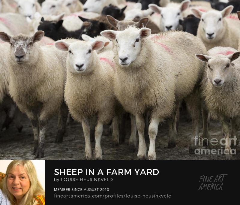 http://fineartamerica.com/featured/sheep-in-a-farm-yard-louise-heusinkveld.html