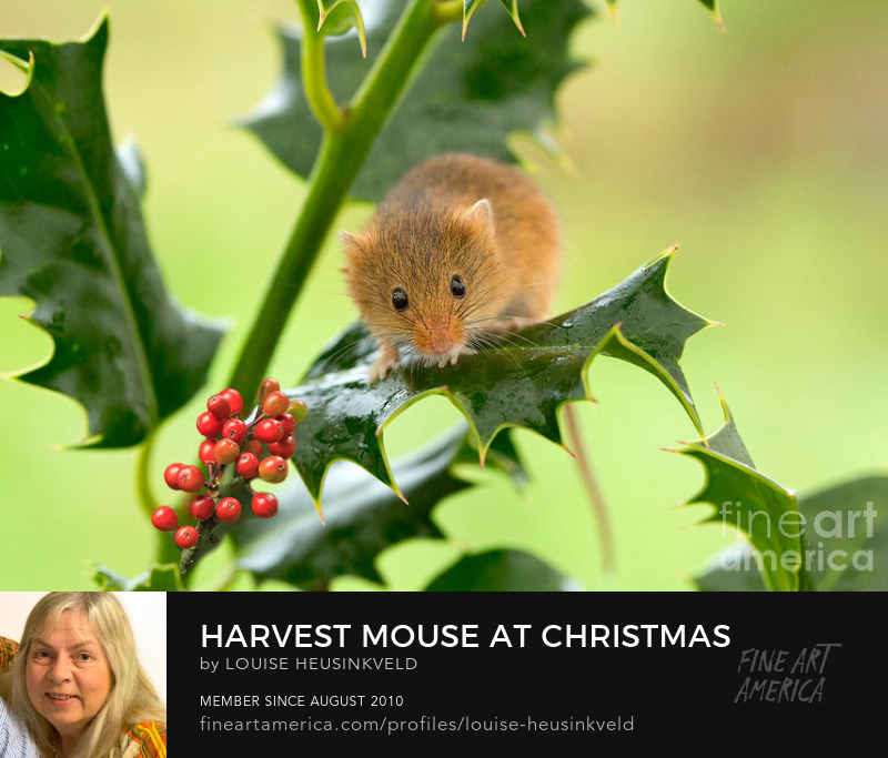 http://fineartamerica.com/featured/harvest-mouse-at-christmas-louise-heusinkveld.html