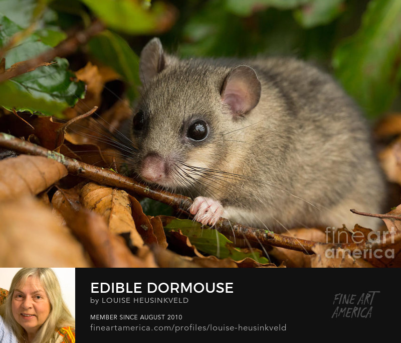 http://fineartamerica.com/featured/edible-dormouse-louise-heusinkveld.html?newartwork=true