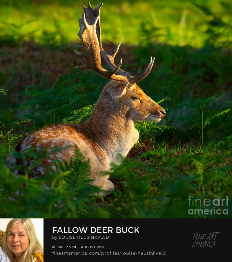 http://fineartamerica.com/featured/1-fallow-deer-buck-louise-heusinkveld.html