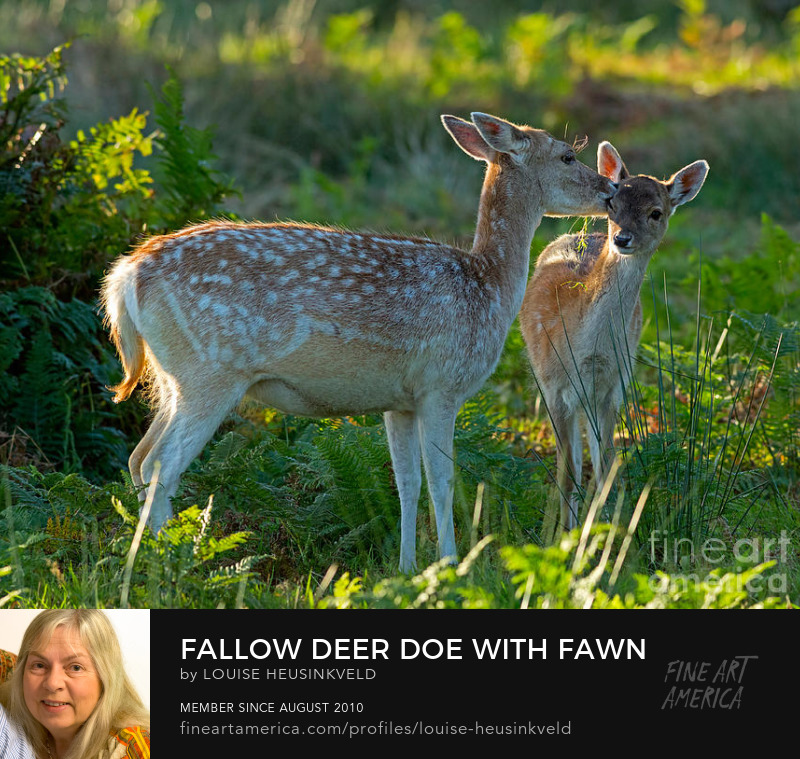 http://fineartamerica.com/featured/fallow-deer-doe-with-fawn-louise-heusinkveld.html
