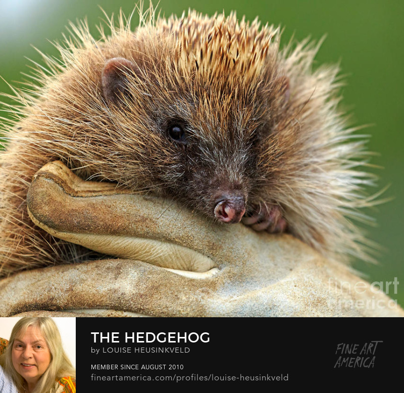 http://fineartamerica.com/featured/the-hedgehog-louise-heusinkveld.html