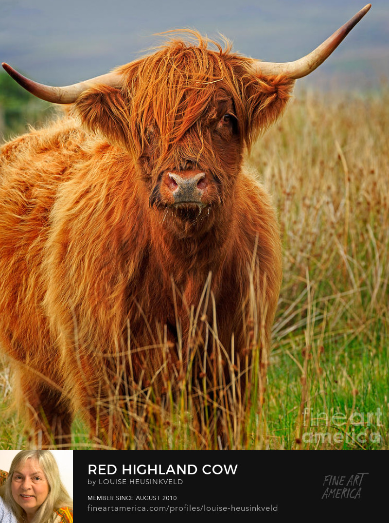 http://fineartamerica.com/featured/red-highland-cow-louise-heusinkveld.html