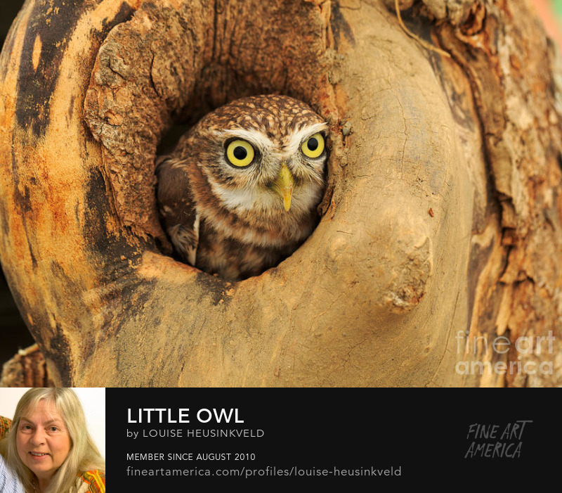 http://fineartamerica.com/featured/little-owl-louise-heusinkveld.html