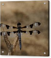 12 Spotted Skimmer Acrylic Print by Dick Todd