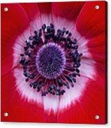 Anemone Coronaria Harmony Scarlet Flower Acrylic Print by Tim Gainey
