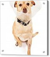 Chihuahua Mix Dog With Cone  Acrylic Print by Susan  Schmitz