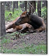 Elk In  Yellowstone Park  Acrylic Print by Larry Stolle