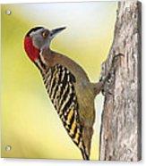 Hispaniolan Woodpecker Acrylic Print by Jim Nelson