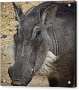 African Boar Acrylic Print by Dave Hall