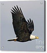 Bald Eagle In Flight Acrylic Print by Jim Zipp