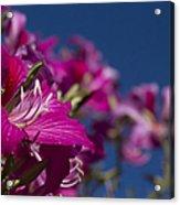 Bauhinia Purpurea - Hawaiian Orchid Tree Acrylic Print by Sharon Mau