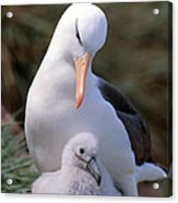 Black-browed Albatross With Chick Acrylic Print by Art Wolfe