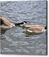 Bossy Canada Goose Acrylic Print by Susan Wiedmann