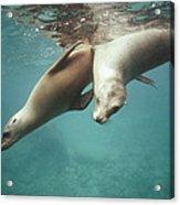 California Sea Lions Playing Sea Acrylic Print by Tui De Roy