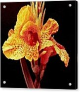 Canna Lilly Acrylic Print by Michael Hoard