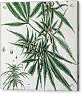 Cannabis  Acrylic Print by Elizabeth Blackwell