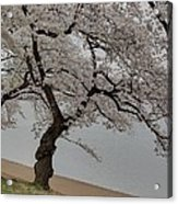 Cherry Blossoms - Washington Dc - 011343 Acrylic Print by DC Photographer