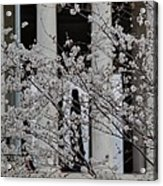 Cherry Blossoms With Jefferson Memorial - Washington Dc - 01131 Acrylic Print by DC Photographer