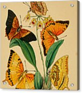 Chinese Butterflies 1847 Acrylic Print by Philip Ralley