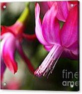 Christmas Cactus In Bloom Acrylic Print by Thomas R Fletcher