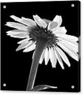 Coneflower Acrylic Print by Tony Cordoza
