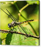 Dragonfly Acrylic Print by Steven  Taylor
