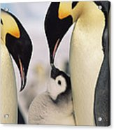 Emperor Penguin Parents With Chick Acrylic Print by Konrad Wothe