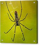 Giant Wood Orb Spider Acrylic Print by Robert Jensen