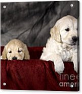 Golden Retriever Puppies Acrylic Print by Angel  Tarantella