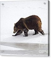 Grizzly Bear Walking In Snow Acrylic Print by Mike Cavaroc