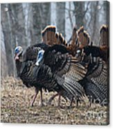Jake Eastern Wild Turkeys Acrylic Print by Linda Freshwaters Arndt